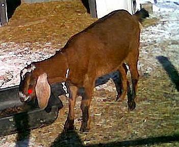 Lump on nubian s face dairy goat info forum
